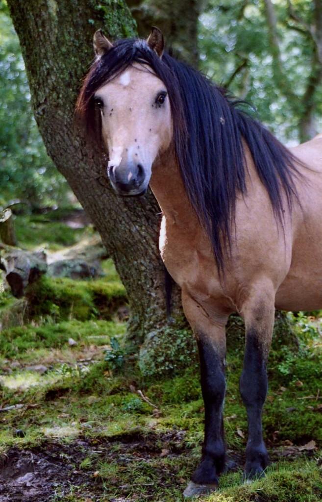 welsh ponies section a tyrcanol welsh mountain ponies. Black Bedroom Furniture Sets. Home Design Ideas